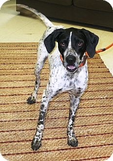 English Pointer Dog for adoption in Eastpoint, Florida - Ruger