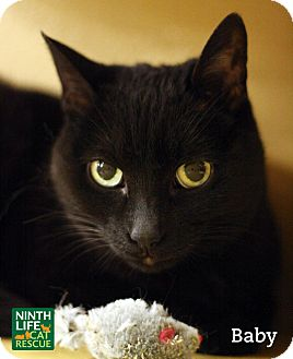 Domestic Shorthair Cat for adoption in Oakville, Ontario - Baby