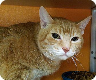 Domestic Shorthair Cat for adoption in Elyria, Ohio - Mine