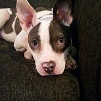 Pit Bull Terrier/Terrier (Unknown Type, Medium) Mix Dog for adoption in Wyoming, Michigan - Holton
