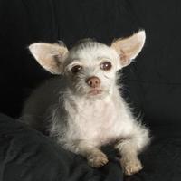 Adopt A Pet :: Astor - Santa Paula, CA