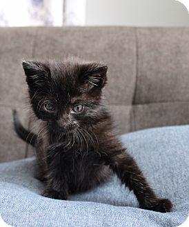 Domestic Mediumhair Kitten for adoption in Wayne, New Jersey - Tucker