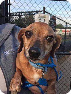 Dachshund Dog for adoption in Nesquehoning, Pennsylvania - Chester