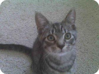 Domestic Shorthair Kitten for adoption in Oviedo, Florida - Possum