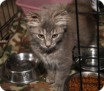 Domestic Mediumhair Kitten for adoption in Marietta, Ohio - Smokey (Neutered)