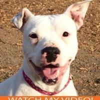 American Pit Bull Terrier Mix Dog for adoption in Merriam, Kansas - Luna