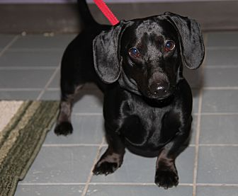 Dachshund Mix Dog for adoption in Marietta, Ohio - Rex (Neutered)