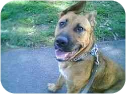 German Shepherd Dog/Labrador Retriever Mix Dog for adoption in Berkeley, California - Tomasina