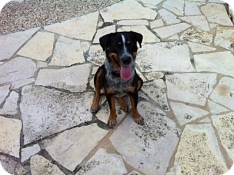 Australian Cattle Dog Mix Dog for adoption in Conway, Arkansas - Cody
