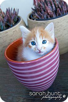 Domestic Longhair Kitten for adoption in Irvine, California - Eddie