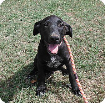 Labrador Retriever/Bluetick Coonhound Mix Puppy for adoption in Hollis, Maine - Gardner