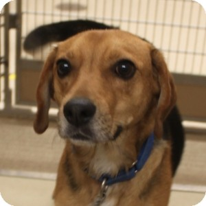 Beagle Mix Dog for adoption in Naperville, Illinois - Stanley