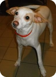 Jack Russell Terrier Dog for adoption in Jackson, Michigan - Finn