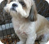 Shih Tzu Dog for adoption in St. Petersburg, Florida - Hurricane