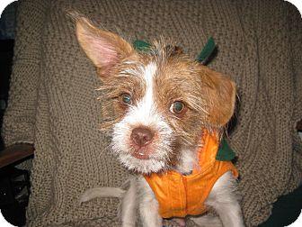 Shih Tzu/Rat Terrier Mix Puppy for adoption in Huntsville, Alabama - Jasper