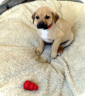 Labrador Retriever/Shepherd (Unknown Type) Mix Puppy for adoption in Santee, California - Bella,baby,and Jane