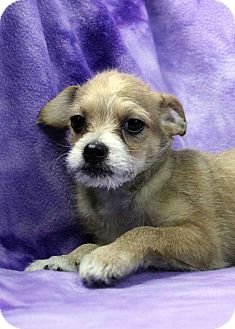 Terrier (Unknown Type, Small) Mix Puppy for adoption in Westminster, Colorado - Scrappers