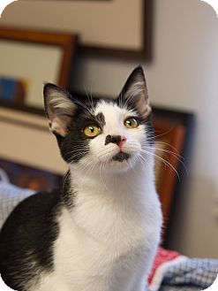 Domestic Shorthair Kitten for adoption in Chattanooga, Tennessee - Jot