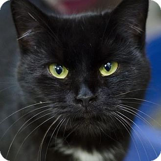 Domestic Shorthair Cat for adoption in Adrian, Michigan - Sophia