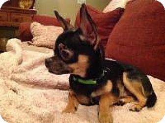 Chihuahua Dog for adoption in Mt Gretna, Pennsylvania - Spirit