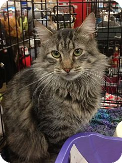 Maine Coon Cat for adoption in New York, New York - Roger