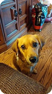 Spaniel (Unknown Type) Mix Dog for adoption in Maryville, Illinois - Peggy