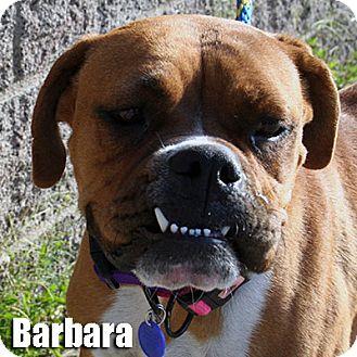 Boxer Dog for adoption in Encino, California - Barbara