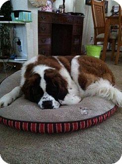 St. Bernard Dog for adoption in Pittsburgh, Pennsylvania - Donald