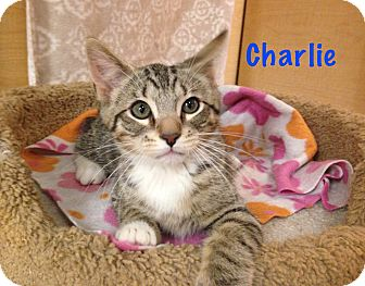 Domestic Shorthair Kitten for adoption in Foothill Ranch, California - Charlie