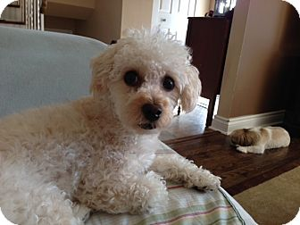 Bichon Frise/Poodle (Toy or Tea Cup) Mix Dog for adoption in Mississauga, Ontario - Rusty