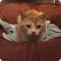 Adopt A Pet :: Goldilocks - Delmont, PA