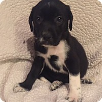 Adopt A Pet :: Holly - Lewisville, IN