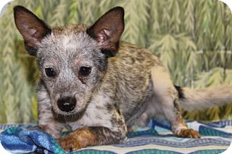 Cattle Dog Mix Puppy for adoption in Danbury, Connecticut - Lars