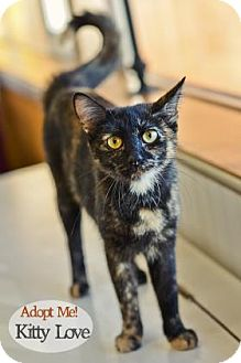 Domestic Shorthair Cat for adoption in West Des Moines, Iowa - Kitty Love
