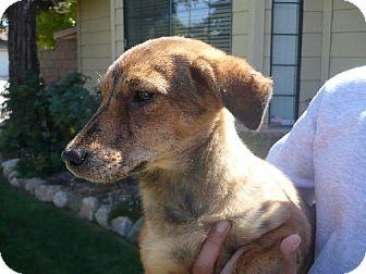 Shepherd (Unknown Type) Mix Dog for adoption in Tehachapi, California - Tigger