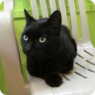 Domestic Mediumhair Cat for adoption in Janesville, Wisconsin - Menudo
