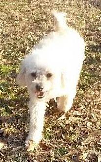 Poodle (Miniature) Mix Dog for adoption in Alpharetta, Georgia - Coby