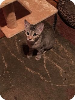 Domestic Shorthair Kitten for adoption in Scottsdale, Arizona - Reba