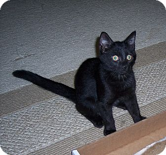 Domestic Shorthair Kitten for adoption in Richmond, Virginia - Berry