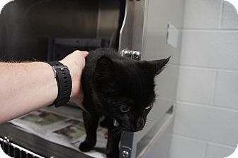 Domestic Shorthair Kitten for adoption in Henderson, North Carolina - Mary