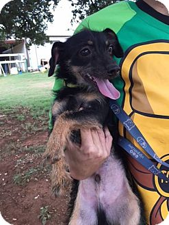 Terrier (Unknown Type, Small) Mix Dog for adoption in Marble Falls, Texas - Koda