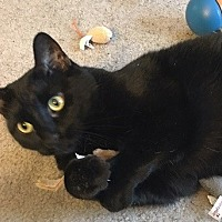 Domestic Shorthair Cat for adoption in Hillside, Illinois - Jasmine-$65-CATNIP, BIRDS & U