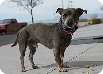 Chihuahua Mix Dog for adoption in Las Vegas, Nevada - Dodger
