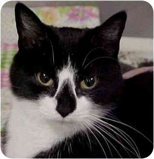 Domestic Shorthair Cat for adoption in Cranston, Rhode Island - JOEY