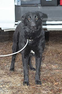 Flat-Coated Retriever/Labrador Retriever Mix Dog for adoption in Columbia, Tennessee - Aimie