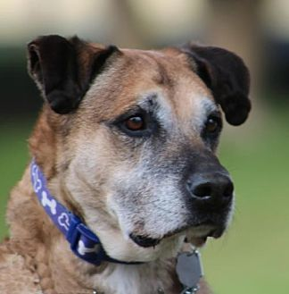 German Shepherd Dog Mix Dog for adoption in San Diego, California - Gus