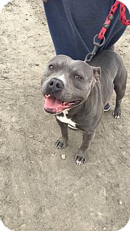 Pit Bull Terrier Mix Dog for adoption in Gustine, California - TUG