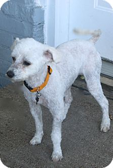 Poodle (Miniature)/Maltese Mix Dog for adoption in Bedminster, New Jersey - Kassidy