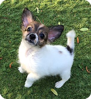 Papillon/Chihuahua Mix Puppy for adoption in Los Angeles, California - Daphne