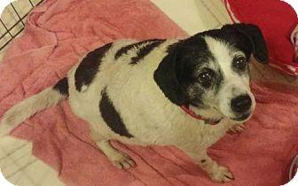 Beagle Dog for adoption in Fairfield, Ohio - Roma
